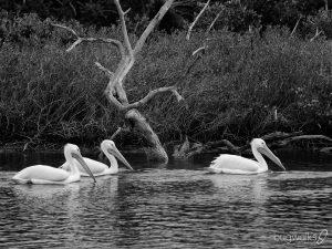 white pelicans - Merrit Island Florida