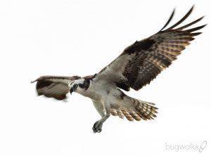 Osprey in flight - Everglades National Park Florida